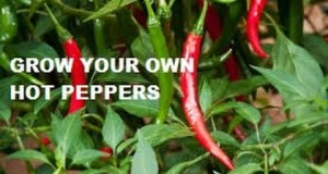 HOW-TO-GROW-RED-AND-GREEN-HOT-PEPPERS-FROM-SEEDS.