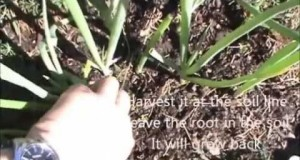 Harvest-green-onions-at-home-garden-infinitely