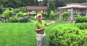 Landscaping Ideas – Deer Resistant Green Mountain Boxwood