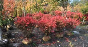 Privacy Trees  AAA plants…  Large and small Arborvitae    Our Green Giant Selection